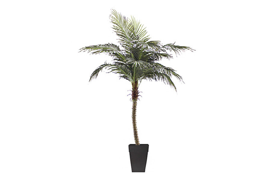 8 Phoenix palm tree potted